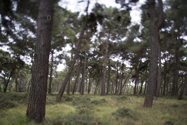Pine trees in the evergreen forest