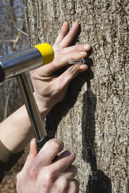 man's hands using hammer to install maple syrup tap into tree