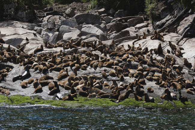 Large colony of seals basking on rocks close to the sea