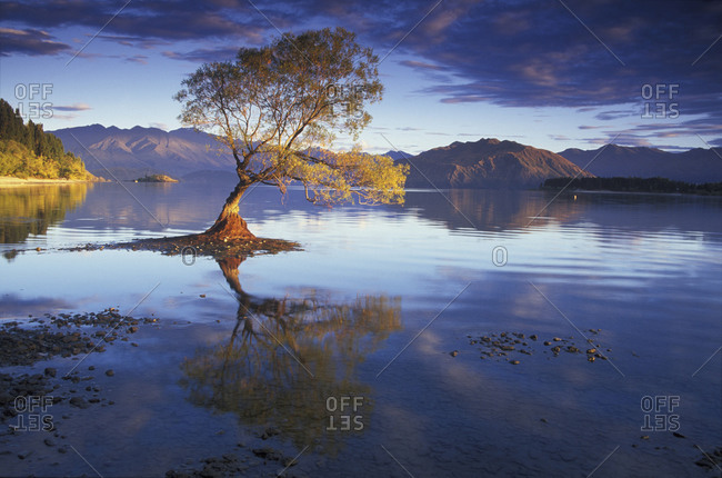 Tree with fall foliage colors surrounded by water of Lake Wanaka in New Zealand.