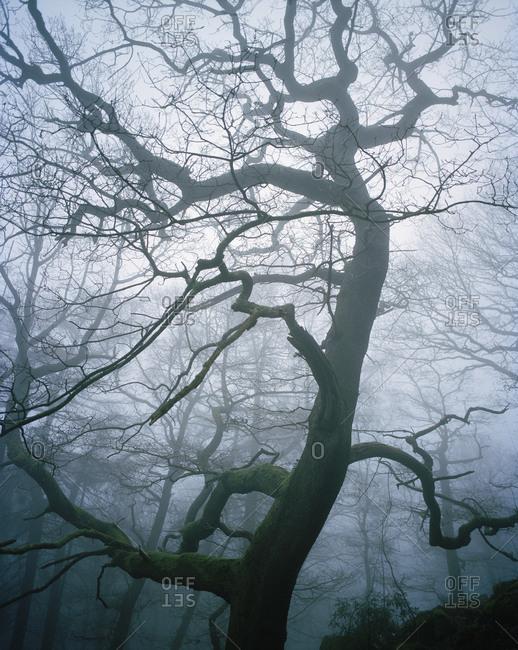 Upward view of bare tree in fog