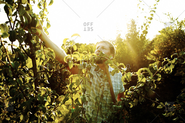 A farmer picking fruit from a pear tree
