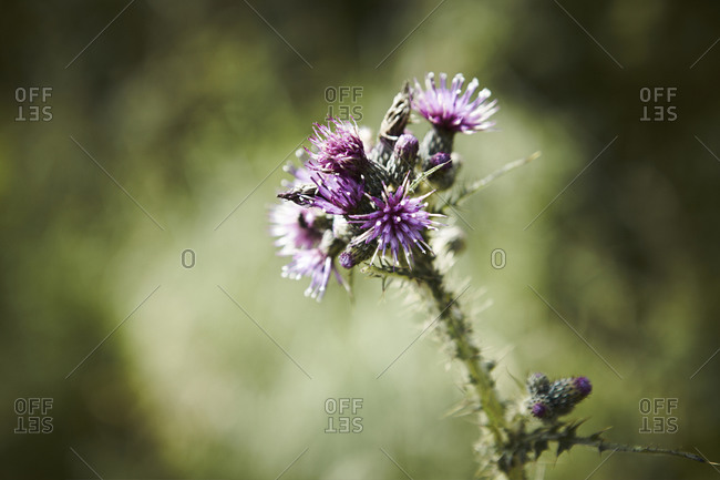 Close-up of thistle plant