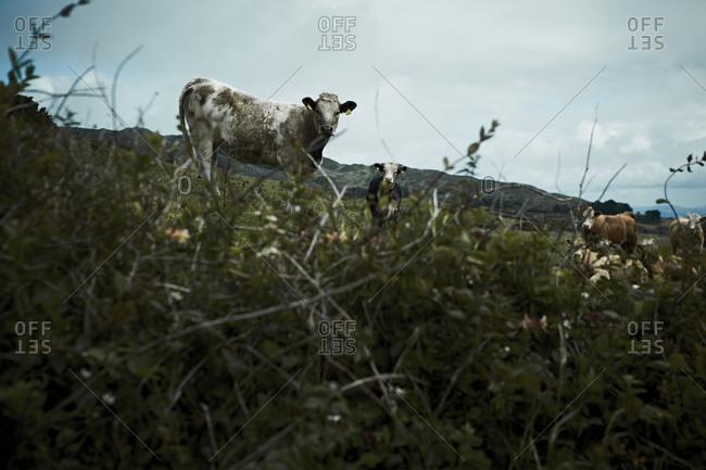 Cows standing in Irish meadow