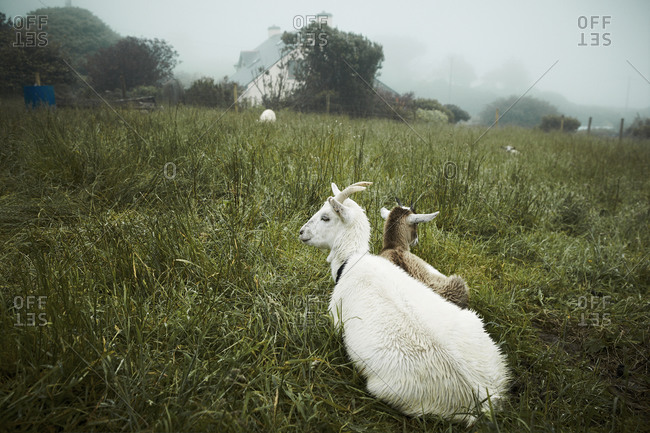 Goats lying in the grass on foggy day