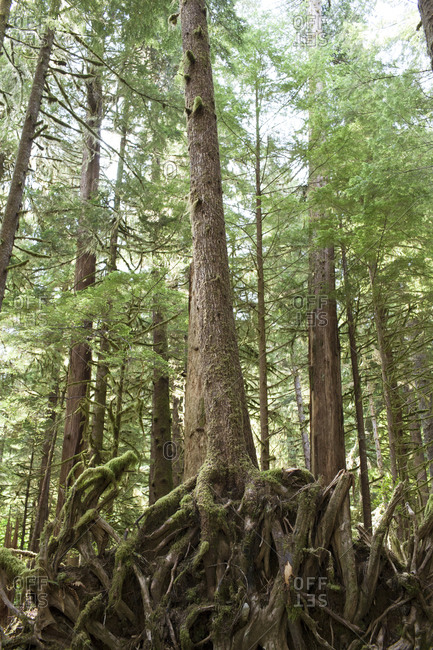 Exposed root system of a tree in an old growth forest on Victoria Island, near Clayoquot Wilderness Resort