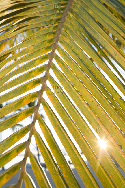Sun flare through palm fond leaves