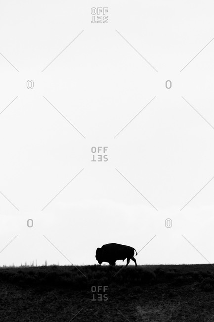 An American Bison (Bison bison) roams the plans of The Hayden Valley in Yellowstone National Park, near Canyon Village, Wyoming.