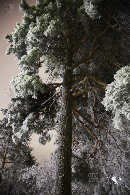 Low angle view of frosted pine tree