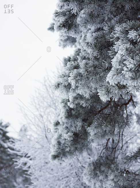 Low angle view of frosted pine twigs