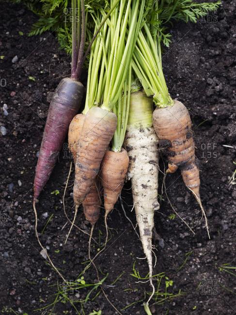 Bunch of various organic carrots