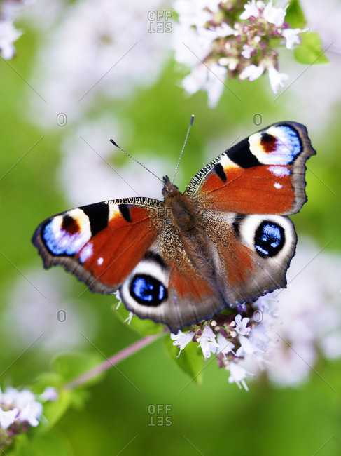 Close-up of peacock butterfly on flowers
