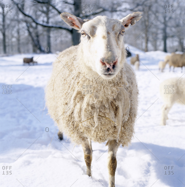 Sheep standing in the snow