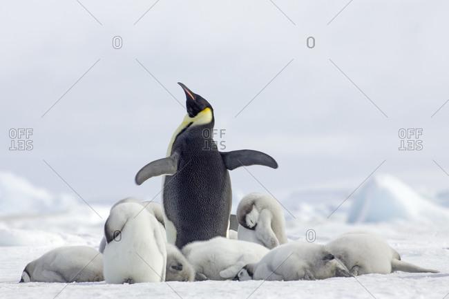 Emperor penguins on the Antarctic