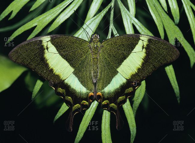 Close-up of green banded peacock butterfly
