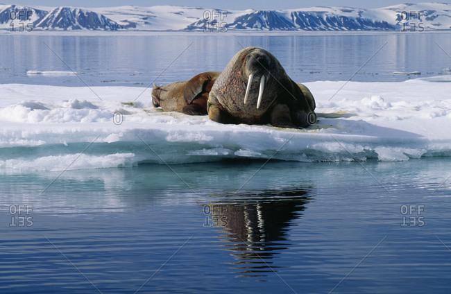 Walruses lying on an iceberg