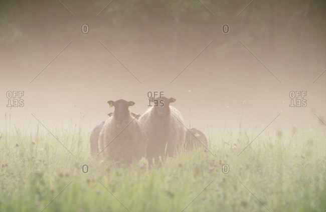 Sheep standing in the mist