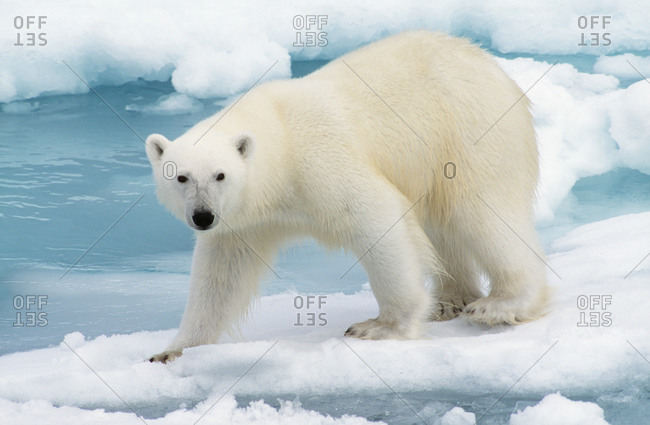 Polar bear standing on an iceberg
