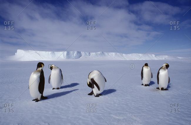 Flock of Emperor penguins