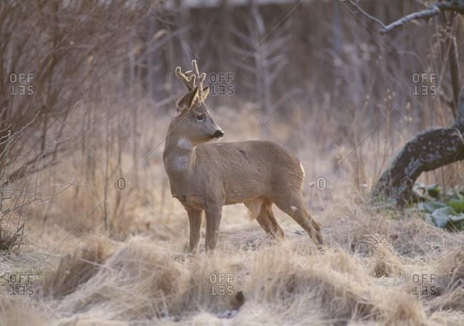 Roe deer standing in grassland