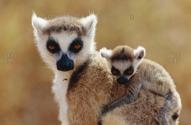 Close-up of lemur and baby lemur