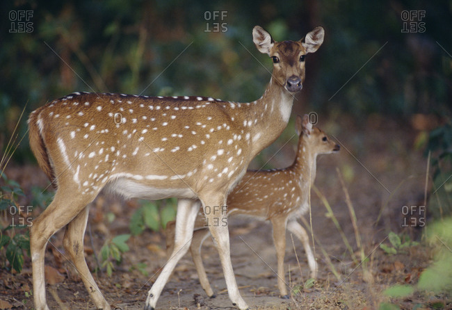 Axis doe and fawn in the forest