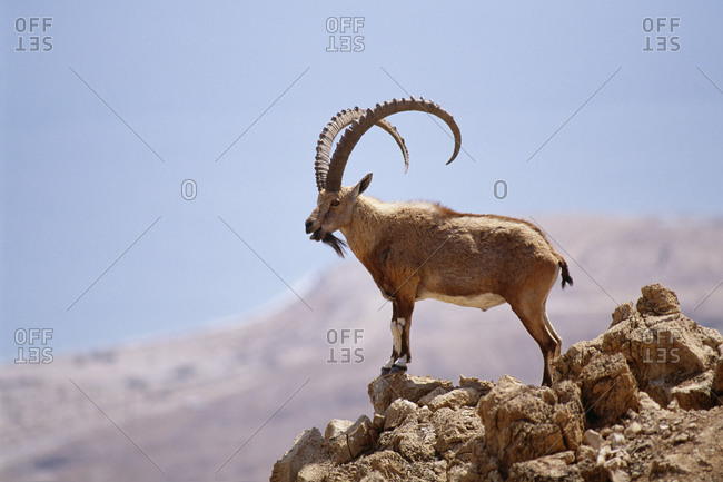 Nubian ibex standing at the edge of a cliff