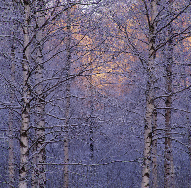 Bare trees of a forest covered with snow