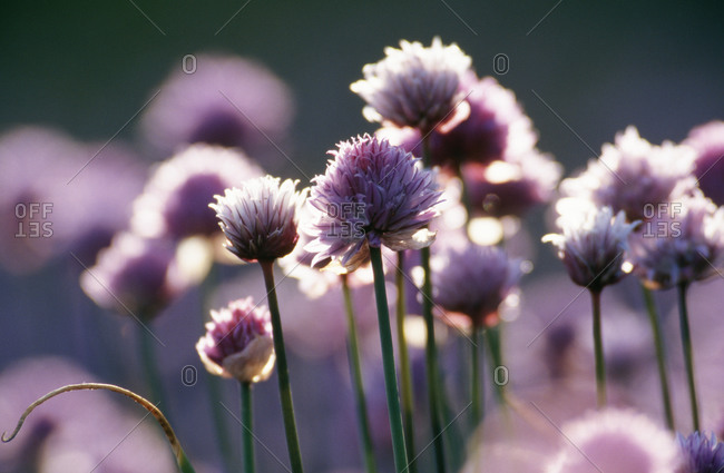 Purple flowers of chives