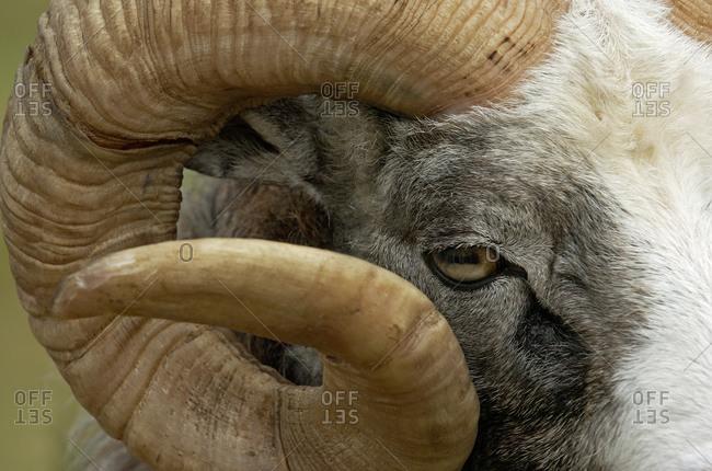 Ram of Gotland sheep