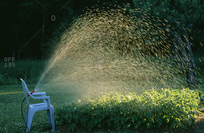 Water sprinkling from hose on shrubs