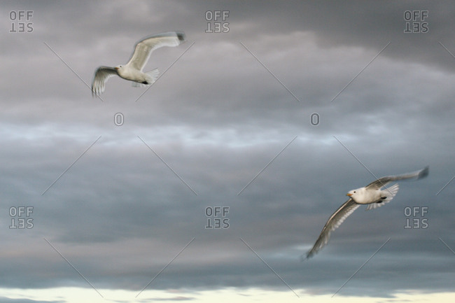Two flying seagulls