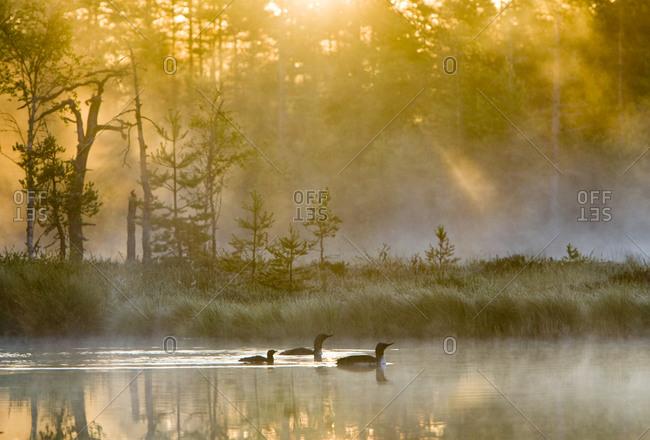 Three ducks swimming in morning light