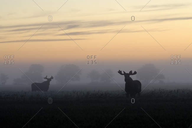 Two elks standing in the morning fog