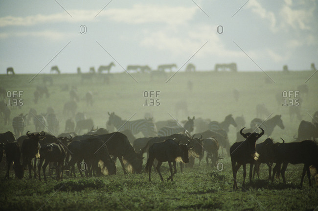 Herd of gnu and zebra grazing