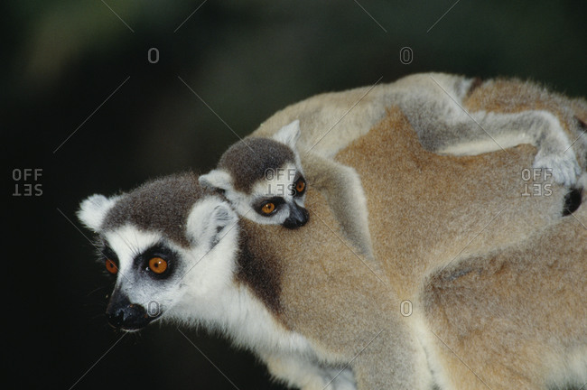 Ring-tailed lemur baby embracing mother