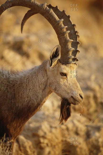 Portrait of male mountain goat