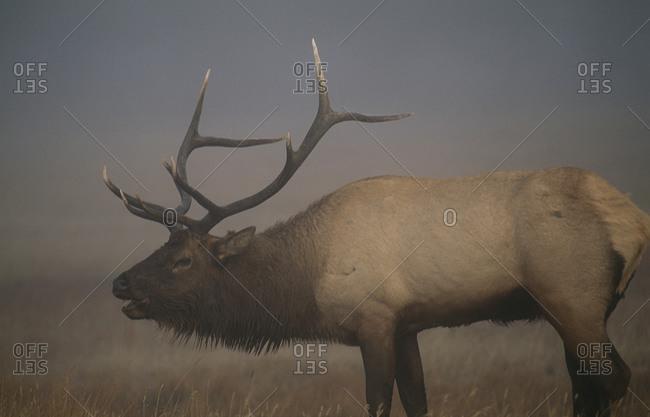 Portrait of red deer standing