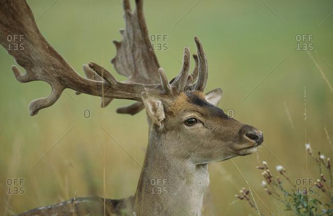 Portrait of majestic fallow deer buck