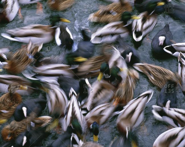 Overhead view of wild ducks swimming