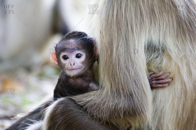 Portrait of langur infant on mother's chest