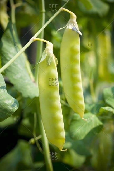 Pea Pods on the Plant