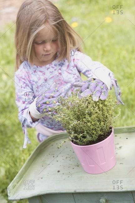 Little girl repotting thyme
