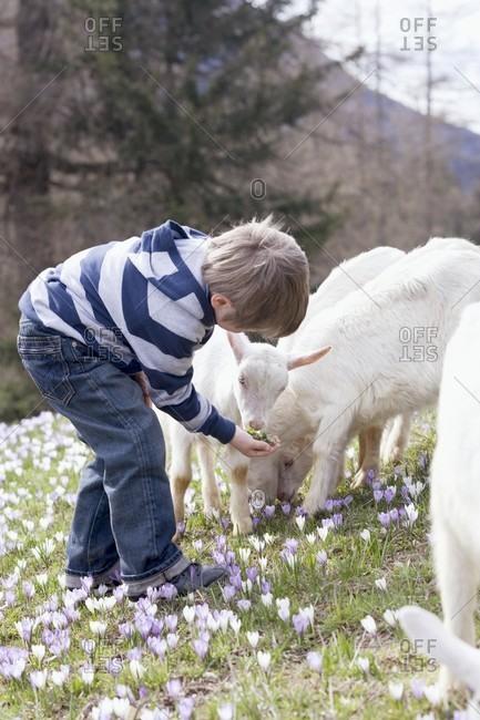 Little boy feeding kids in an Alpine pasture