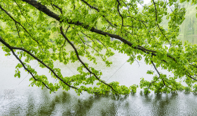 Green branches in central park
