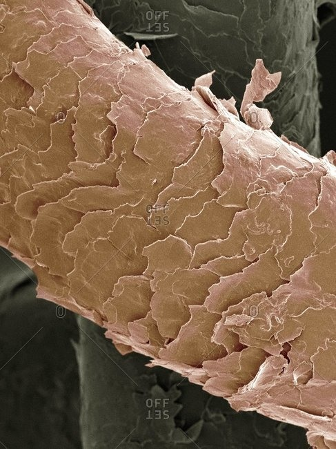 Magnification view of human hair under a Color scanning electron micrograph