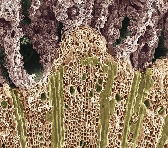 Magnification view of wood under a Color scanning electron micrograph showing the phloem vessels (dark green holes) and xylem tissue (lower frame)