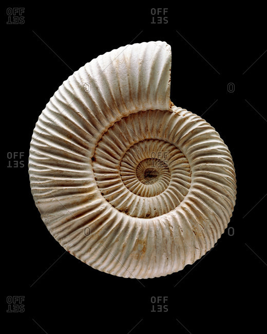 Close up view of an Ammonite fossil, extinct marine invertebrates appeared in the late Silurian to early Devonian period (around 400 million years ago)