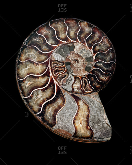 Polished sectioned ammonite fossil, extinct marine invertebrates appeared in the late Silurian to early Devonian period (around 400 million years ago)