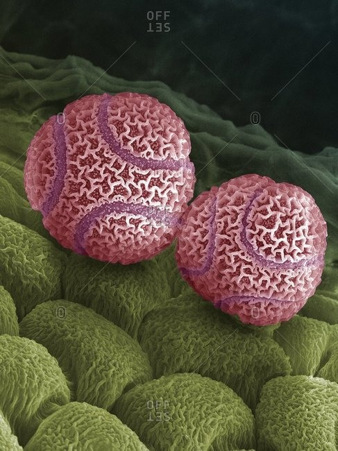 Color scanning electron micrograph of pollen grains from a passion flower (Passiflora caerulea).